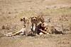 Cheetah_Feast_Mara_Kenya_Asilia_20150122