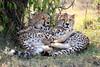 Cheetah_Cubs_Mara_Kenya_Asilia_20150094