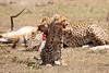 Cheetah_Feast_Mara_Kenya_Asilia_20150070
