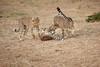 Cheetah_Cubs_Mara_Kenya_Asilia_20150160