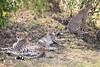 Cheetah_Cubs_Mara_Kenya_Asilia_20150025