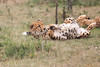 Cheetah_Mara_Asilia_Kenya0022