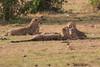 Cheetah_Cubs_Mara_Kenya_Asilia_20150282