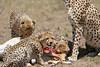 Cheetah_Feast_Mara_Kenya_Asilia_20150257