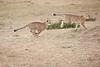 Cheetah_Cubs_Mara_Kenya_Asilia_20150140