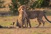 Cheetah_Cubs_Mara_Kenya_Asilia_20150235