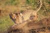 Cheetah_Adventure_Phinda_2016_0039