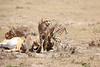 Cheetah_Feast_Mara_Kenya_Asilia_20150226