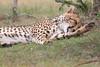 Cheetah_Mara_Asilia_Kenya0038