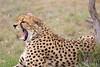 Cheetah_Mara_Asilia_Kenya0011