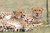 Cheetah_Mara_Asilia_Kenya0059