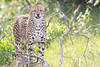 Cheetah_Mara_Asilia_Kenya0070