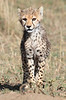 Cheetah Cubs Mara Topi House