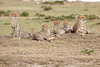 Cheetah_Family_Portraits_Mara_Kenya_Asilia_20150013