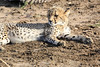 Cheetah_Family_Phinda_2016_0006
