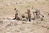 Cheetah_Feast_Mara_Kenya_Asilia_20150019