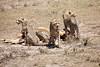 Cheetah_Feast_Mara_Kenya_Asilia_20150017
