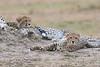 Cheetah_Cubs__Mara_Kenya_Asilia_20150007
