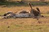 Cheetah_Cubs_Mara_Kenya_Asilia_20150297