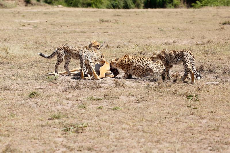 Cheetah_Feast_Mara_Kenya_Asilia_20150212