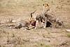 Cheetah_Feast_Mara_Kenya_Asilia_20150106