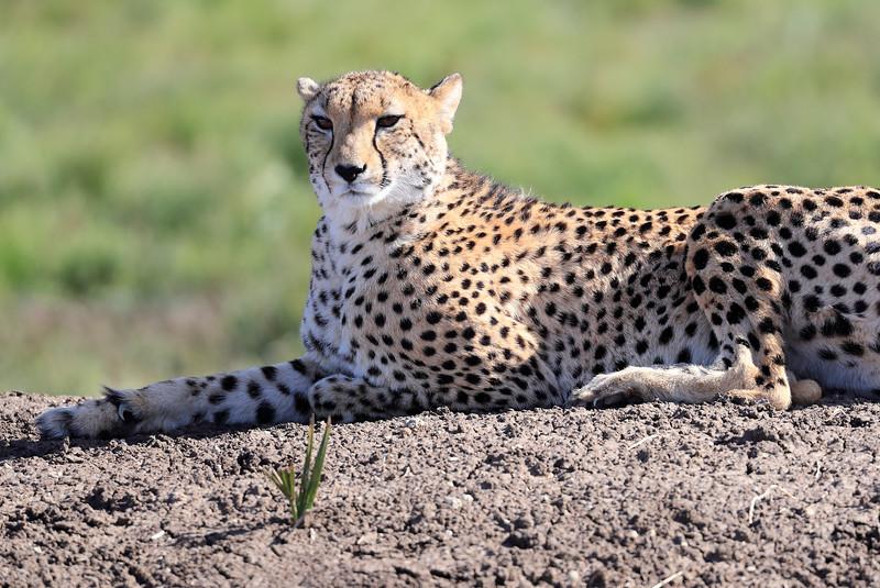 Cheetah_Family_Phinda_2016_0159