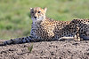 Cheetah_Family_Phinda_2016_0159
