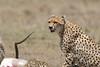 Cheetah_Feast_Mara_Kenya_Asilia_20150245