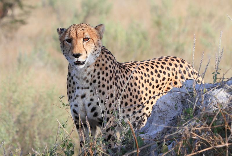 Cheetah Kwara Botswana