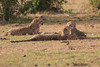 Cheetah_Cubs_Mara_Kenya_Asilia_20150279