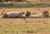 Cheetah_Cubs_Mara_Kenya_Asilia_20150199