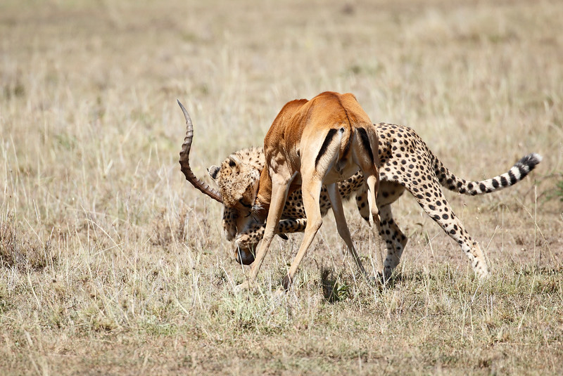 Cheetah_Feast_Mara_Kenya_Asilia_20150146