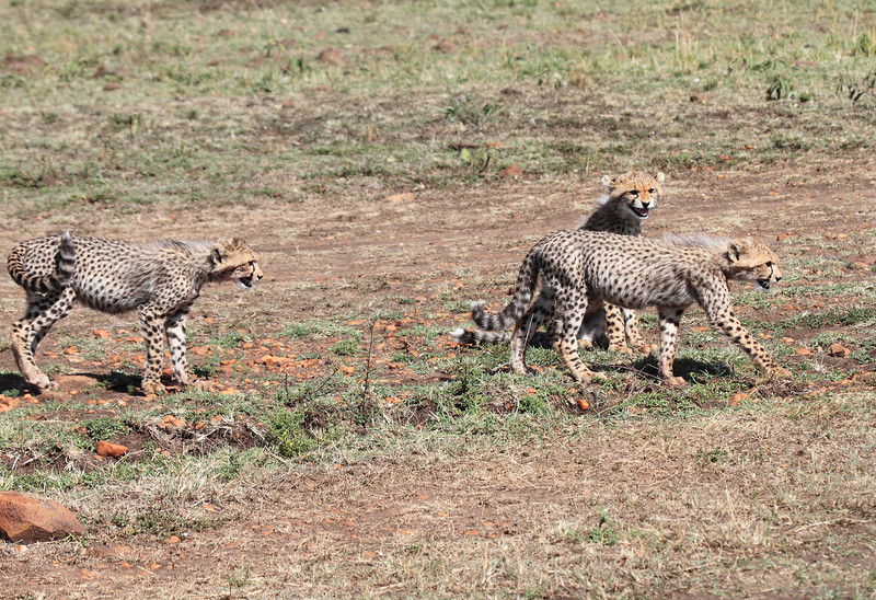 Cheetah Cubs Family Kill Mara Topi House