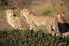 Cheetah_Family_Phinda_2016_0053