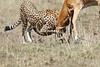 Cheetah_Feast_Mara_Kenya_Asilia_20150234