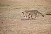 Cheetah_Cubs_Mara_Kenya_Asilia_20150136