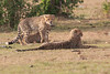 Cheetah_Cubs_Mara_Kenya_Asilia_20150267