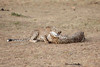 Cheetah_Cubs_Mara_Kenya_Asilia_20150152