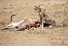 Cheetah_Feast_Mara_Kenya_Asilia_20150109