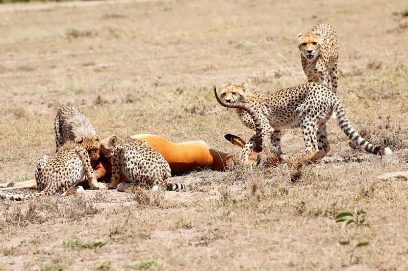 Cheetah_Feast_Mara_Kenya_Asilia_20150047