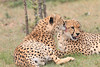 Cheetah_Mara_Asilia_Kenya0056