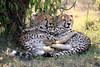 Cheetah_Cubs_Mara_Kenya_Asilia_20150096