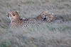 Cheetah_Family_Phinda_2016_0089