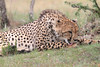 Cheetah_Mara_Asilia_Kenya0039
