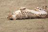 Cheetah_Mara_Asilia_Kenya0034