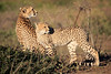 Cheetah_Family_Phinda_2016_0046