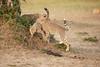 Cheetah_Cubs_Mara_Kenya_Asilia_20150170