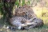 Cheetah_Cubs_Mara_Kenya_Asilia_20150087