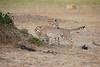 Cheetah_Cubs_Mara_Kenya_Asilia_20150127