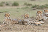 Cheetah_Family_Portraits_Mara_Kenya_Asilia_20150036